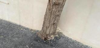 Bakıda ağacların dibi asfaltlanıb