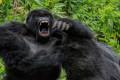 Tarixin ilk şimpanze cinayəti: Qorillalarla müharibə başlayır