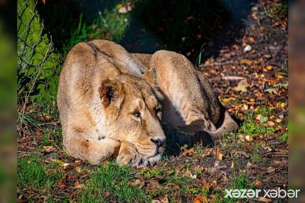 Dünyada İLK - Zooparkdakı aslanlar koronavirusa yoluxdu