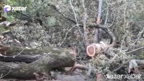 """Cəlilabadda """"Qırmızı kitab""""a düşən ağaclar məhv edilib"""